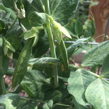 Fun Snack Garden Peas
