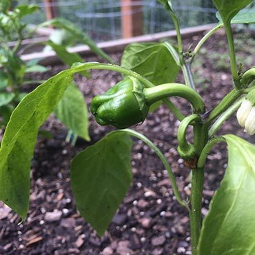 Peppers Doing Well in Colorado Garden