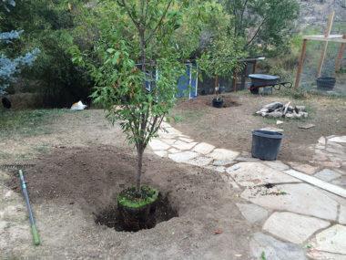 Planting a Plum Tree in Colorado