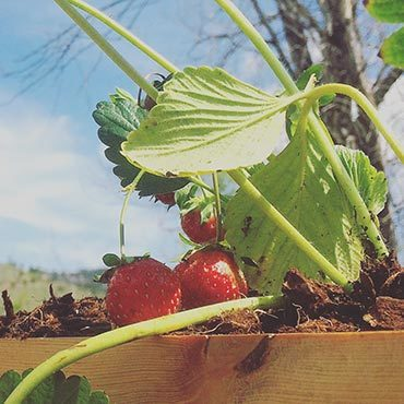 Strawberries do well in Colorado