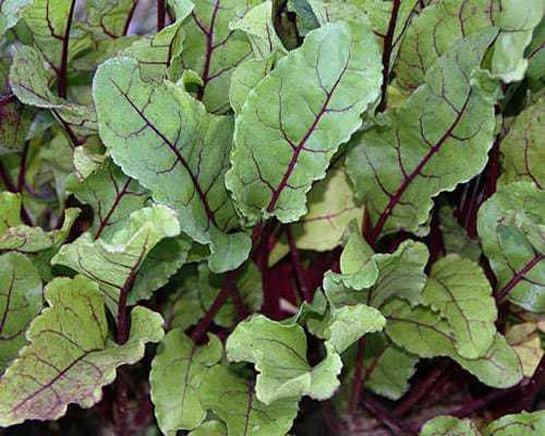 Beet Greens Growing in the Garden