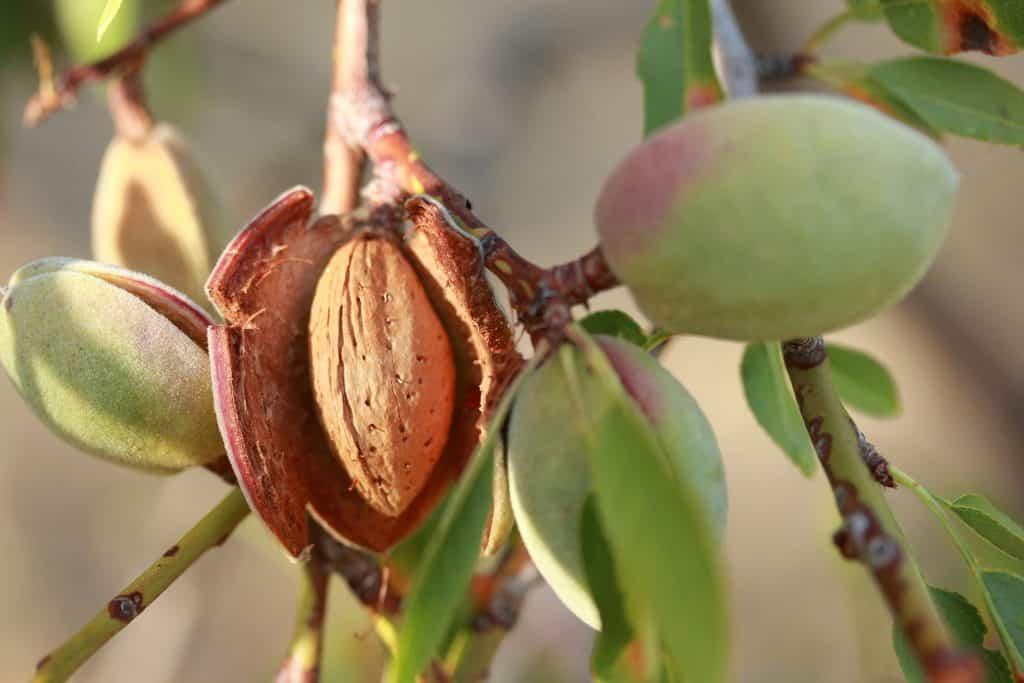 Tree Nuts (Almond) & Sperm Quality