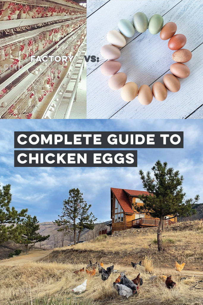 Complete Guide to Chicken Eggs - Everything you NEED to Know