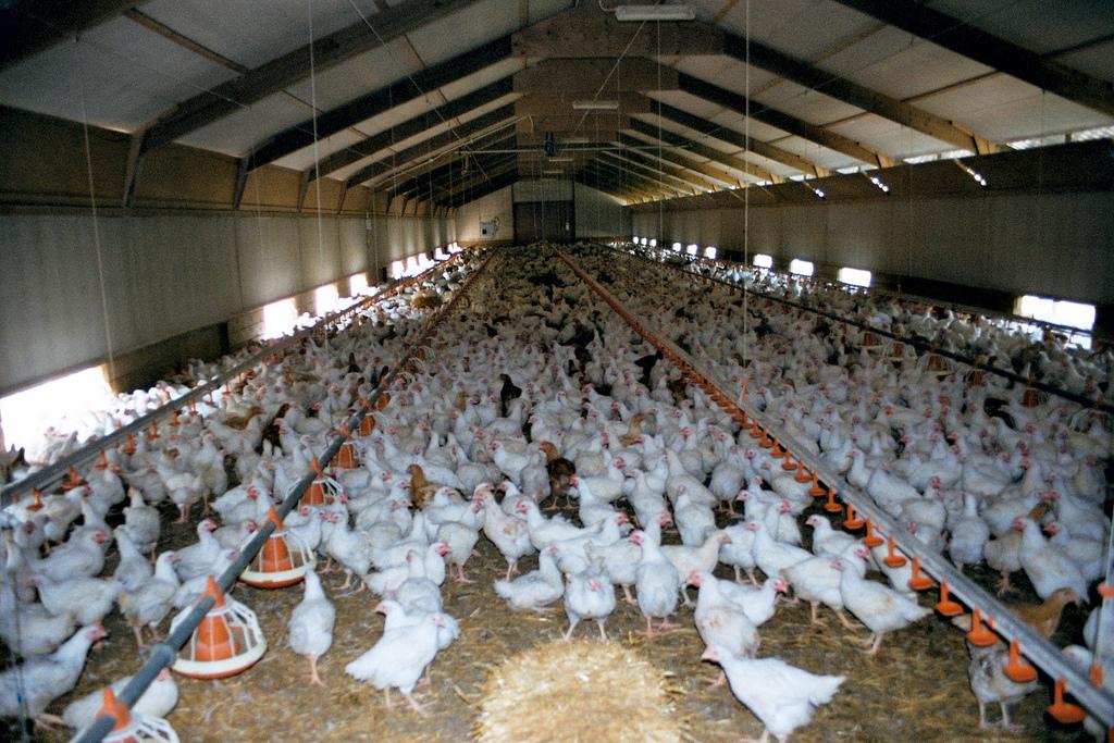 """Free Range"" Chickens"